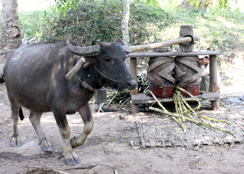 A buffalo, turning a sugar-cane press